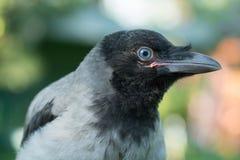 一只灰色乌鸦的画象 免版税库存图片