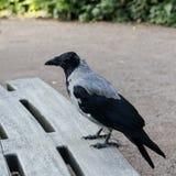 一只灰色乌鸦 免版税库存图片
