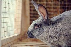 一只灰色兔子的画象 库存图片