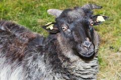 灰色公羊 库存图片