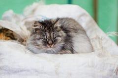 一只灰色农村猫的画象 库存图片
