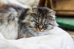 一只灰色农村猫的画象 免版税库存图片