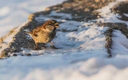 一只灰色和棕色麻雀坐与白雪的灰色凝结面并且吃鸟饵在冬天 免版税库存图片