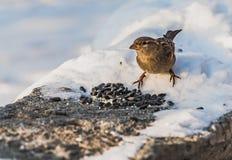 一只灰色和棕色麻雀坐与白雪的灰色凝结面并且吃鸟饵在冬天 库存照片