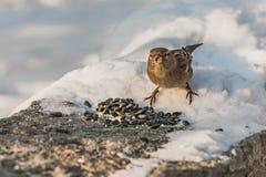 一只灰色和棕色麻雀坐与白雪的灰色凝结面并且吃鸟饵在冬天 免版税图库摄影