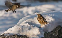 一只灰色和棕色麻雀坐与白雪的灰色凝结面并且吃鸟饵,并且第二只麻雀在飞行中是  图库摄影