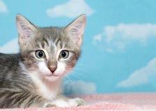 一只灰色和白色平纹小猫的画象 免版税库存图片