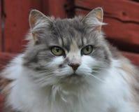 一只灰色和白色猫 免版税库存照片