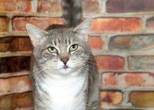 一只灰色和白色虎斑猫的画象 库存图片
