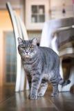 一只灰色大猫在屋子里站立并且看 库存照片