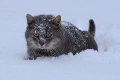 一只灰色大猫在随风飘飞的雪站立 免版税库存照片