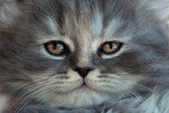 一只灰色小猫的画象 图库摄影