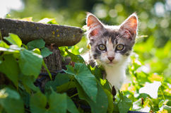 一只灰色小猫看在叶子外面 免版税库存照片