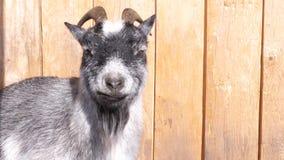 一只灰色山羊享用太阳 股票视频