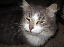 一只灰色平安的猫 库存照片