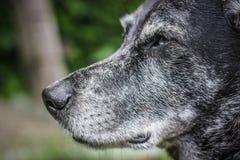 一只灰色护羊狗的枪口 库存图片