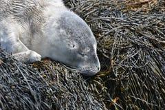 一只灰色海狮幼崽小狗的甜睡觉面孔 免版税图库摄影