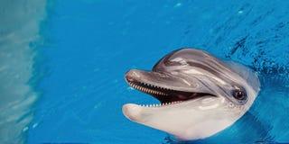 一只灰色海豚的特写镜头 免版税库存照片