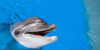 一只灰色海豚的特写镜头 免版税图库摄影