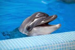 一只灰色海豚的特写镜头 图库摄影
