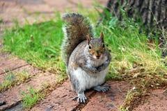 一只灰色灰鼠在城市公园 库存照片