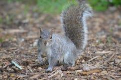 一只灰色灰鼠在森林地 免版税库存图片