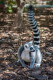 一只灰色狐猴 图库摄影