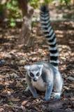 一只灰色狐猴 免版税库存照片