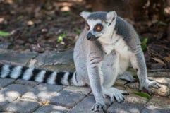 一只灰色狐猴 免版税库存图片