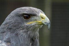 一只灰色猎鹰的照片画象 免版税库存照片