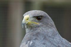 一只灰色猎鹰的照片研究 免版税库存照片