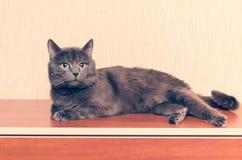一只灰色猫在梳妆台说谎 免版税库存照片