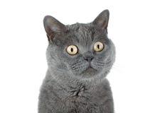 一只灰色猫的特写镜头纵向 库存图片