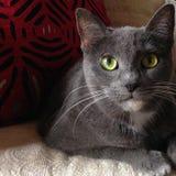 一只灰色猫的特写镜头与黄色眼睛的 免版税图库摄影
