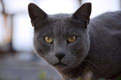 一只灰色猫的画象与黄色眼睛的作为力量的标志 库存图片