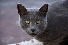 一只灰色猫的画象与黄色眼睛的作为力量的标志 免版税库存图片