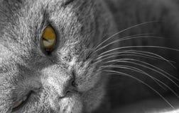 一只灰色猫的画象用桔子注视特写镜头,英国蓝色Shorthair猫 免版税图库摄影