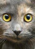 一只灰色猫的画象 免版税库存照片