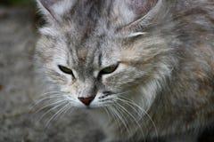 一只灰色猫的画象 库存照片