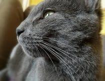 一只灰色猫的画象 库存图片
