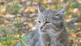 一只灰色猫的画象 影视素材