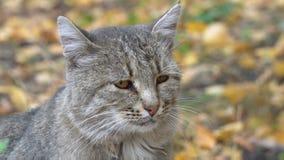 一只灰色猫的画象 股票录像