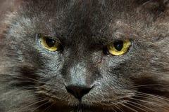 一只灰色猫的纵向 库存图片