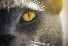 一只灰色猫的黄绿明亮的眼睛 免版税库存图片