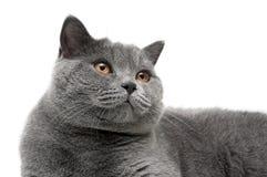 一只灰色猫的画象与黄色眼睛的在白色背景 免版税库存照片