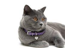 一只灰色猫的画象与黄色眼睛的 奶油被装载的饼干 库存照片