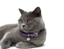 一只灰色猫的画象与黄色眼睛的 奶油被装载的饼干 免版税图库摄影