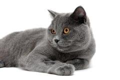 一只灰色猫的画象与黄色眼睛的 库存图片