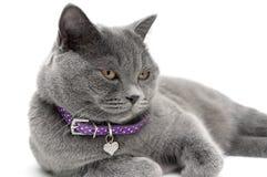 一只灰色猫的画象在一个紫色衣领的 奶油被装载的饼干 免版税库存照片