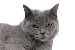 一只灰色猫的画象在白色背景的 免版税图库摄影